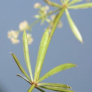 Galium broterianum Boiss. & Reut.