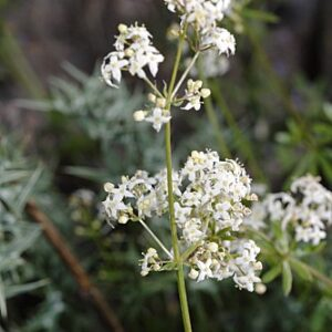 Galium nevadense Boiss. & Reut.