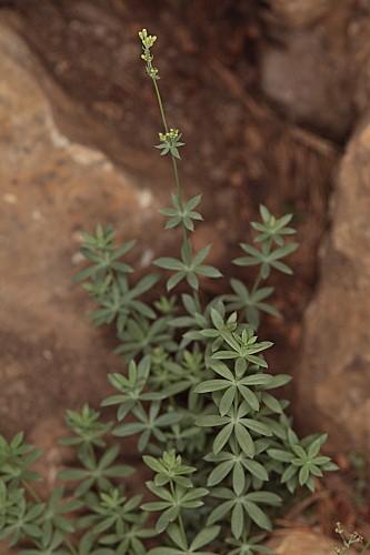 Galium pruinosum Boiss.