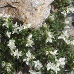 Galium pyrenaicum Gouan