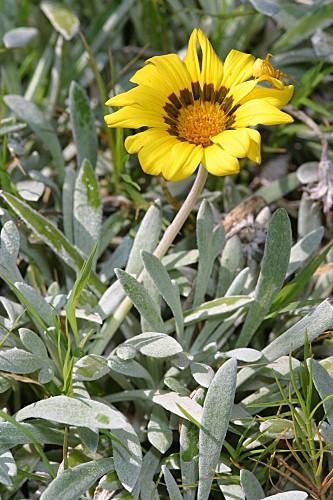 Gazania uniflora (L. f.) Sims