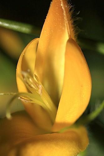 Genista hirsuta subsp. hirsuta Vahl