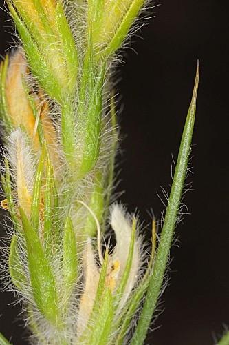 Genista hirsuta subsp. lanuginosa (Spach) Nyman
