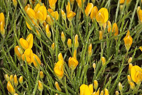 Genista longipes subsp. viciosoi Talavera & Cabezudo