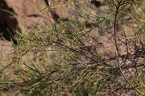 Genista polyanthos R. Roem. ex Willk.