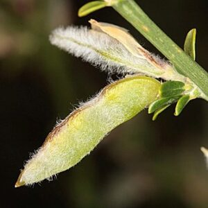 Genista ramosissima (Desf.) Poir.