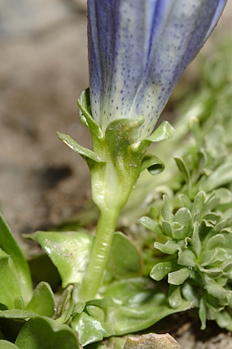 Gentiana alpina Vill.