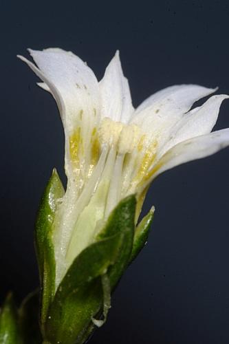 Gentiana boryi Boiss.