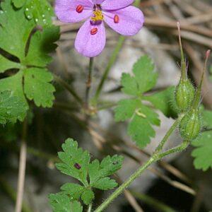 Geranium cataractarum Coss.