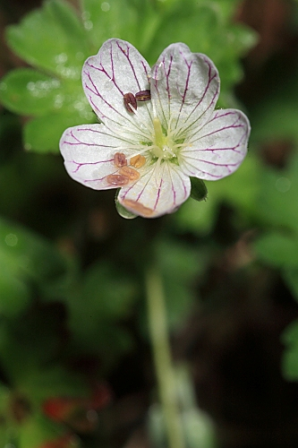Geranium cazorlense Heywood