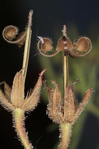 Geranium dissectum L.