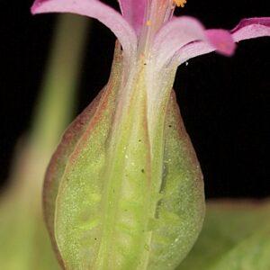 Geranium lucidum L.