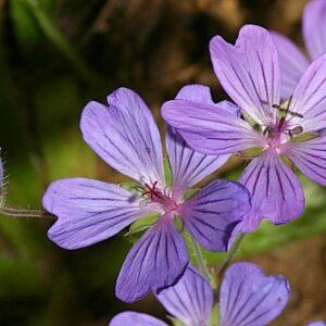 Geranium malviflorum Boiss. & Reut.