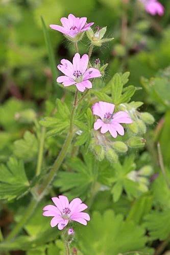 Geranium molle L.