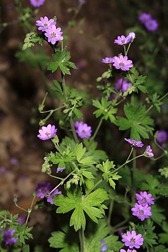 Geranium pyrenaicum Burm. f.