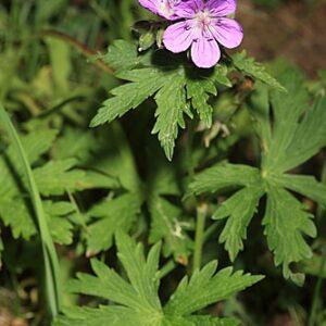 Geranium sylvaticum L.