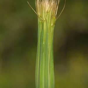 Geropogon hybridus (L.) Sch. Bip.