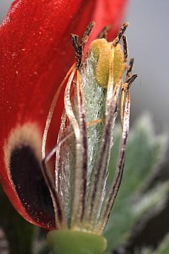 Glaucium corniculatum (L.) J. H. Rudolph