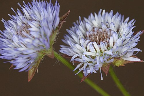 Globularia alypum L.