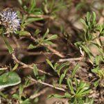 Globularia cordifolia L.