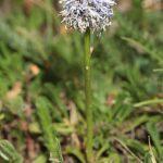 Globularia nudicaulis L.
