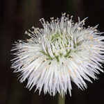 Globularia spinosa L.