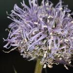 Globularia vulgaris 1