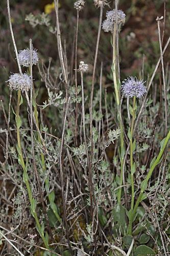 Globularia vulgaris 10