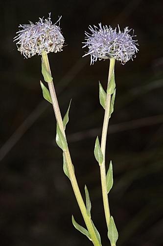 Globularia vulgaris 11