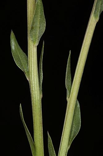 Globularia vulgaris 12