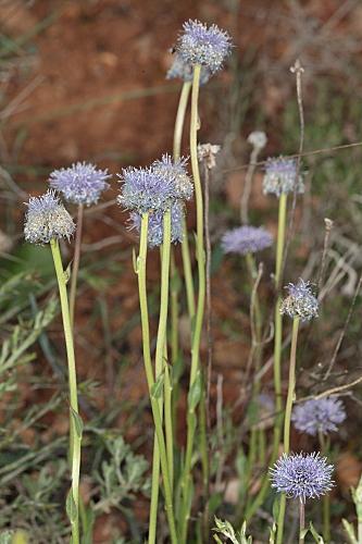 Globularia vulgaris 13