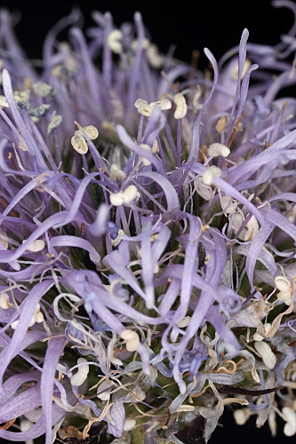 Globularia vulgaris 4