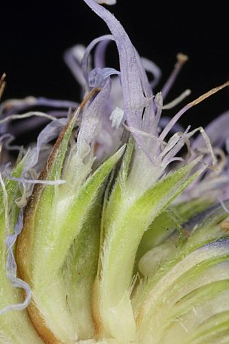 Globularia vulgaris 6