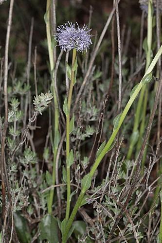 Globularia vulgaris 9