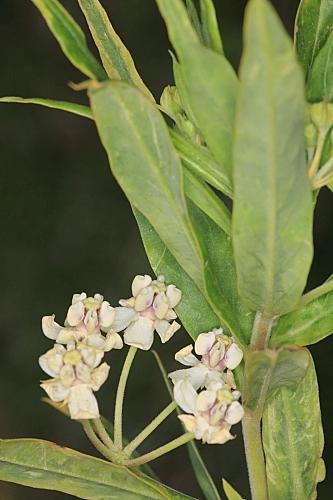 Gomphocarpus fruticosus (L.) W.T. Aiton