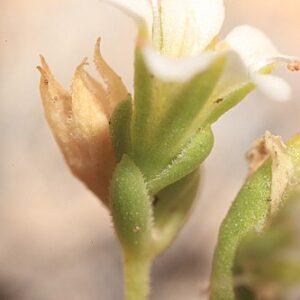 Gypsophila montserrati Fdez. Casas