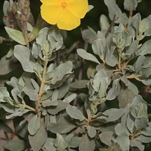 Halimium atriplicifolium subsp. atriplicifolium (Lam.) Spach