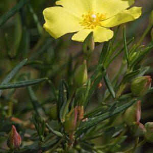 Halimium calycinum (L.) K. Koch