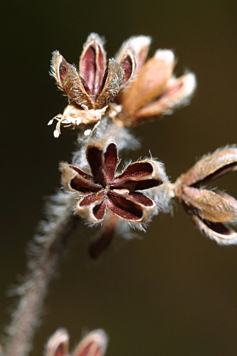 Halimium ocymoides (Lam.) Willk.