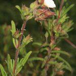 Halimium umbellatum subsp. viscosum (Willk.) O. Bolós & Vigo