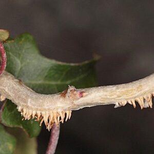 Hedera helix subsp. helix L.