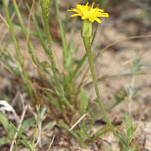 Hedypnois arenaria (Schousb.) DC.