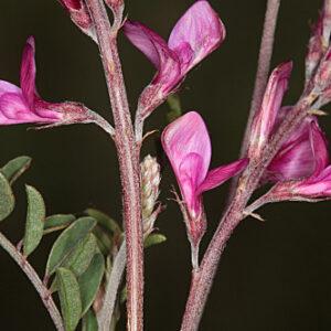 Hedysarum boveanum Bunge ex Basiner