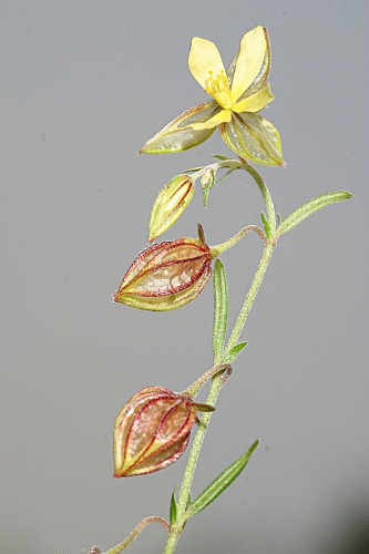Helianthemum aegyptiacum (L.) Mill.
