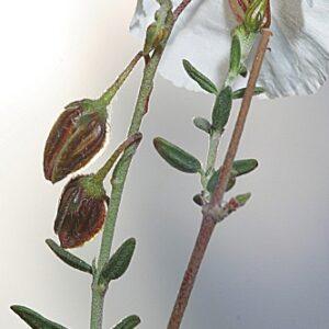 Helianthemum almeriense Pau