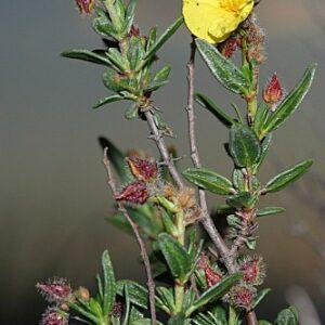 Helianthemum alypoides Losa & Rivas Goday