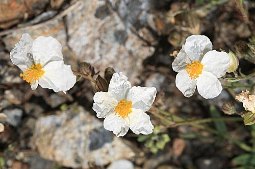 Helianthemum apenninum subsp. apenninum (L.) Mill.