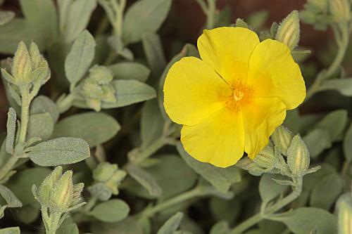 Helianthemum apenninum subsp. cavanillesianum (M. Laínz) G. López