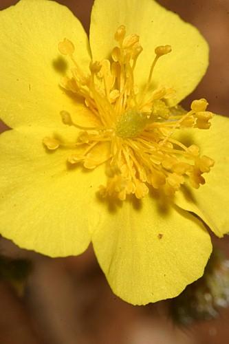 Helianthemum cinereum subsp. rotundifolium (Dunal) Greuter & Burdet