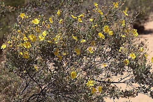Halimium halimifolium (L.) Willk.